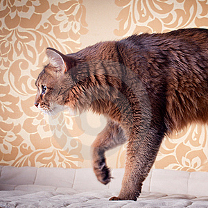 Somali Cat Portrait Royalty Free Stock Image - Image: 18595156