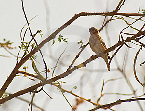 A Cut-throat Finch Royalty Free Stock Photography - Image: 18601797