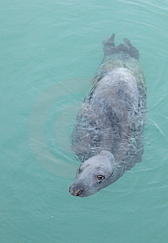 Grey Seal. Royalty Free Stock Image - Image: 18617916