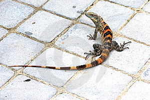 A Red Green And Black Iguana Lizard On The Ground. Royalty Free Stock Photos - Image: 18619228