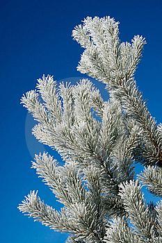 Frost On Pine Tree Stock Photos - Image: 18627603