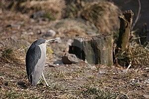 Night Heron Stock Image - Image: 18635701