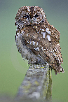 Tawny Owl Stock Photos - Image: 18637063