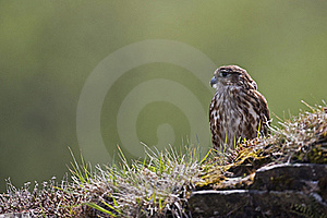 Merlin  Royalty Free Stock Photography - Image: 18637087