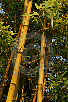 Bamboo Forest Royalty Free Stock Image - Image: 18647186