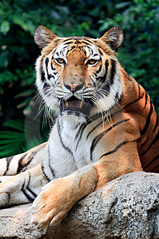 Bengal Tiger Starring At The Camera Stock Images - Image: 18648584