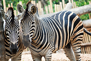 Two Zebra Starring At The Camera Stock Photography - Image: 18648612