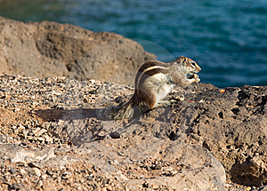Ground Squirrel Royalty Free Stock Photography - Image: 18661507