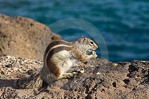 Ground Squirrel Stock Photo - Image: 18661520