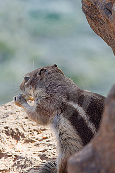 Ground Squirrel Stock Image - Image: 18661661