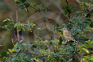 Greenfinch (Carduelis Chloris) Stock Photo - Image: 18662110