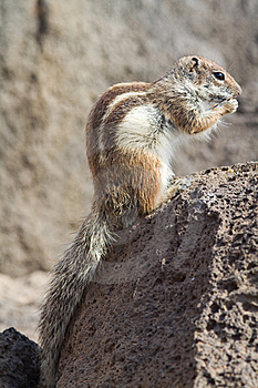 Ground Squirrel Royalty Free Stock Photography - Image: 18662207