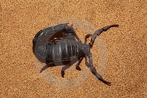 Scorpion Top View Royalty Free Stock Photos - Image: 18663008