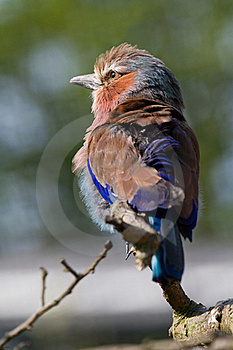 Lilac Breasted Roller Royalty Free Stock Photo - Image: 18664475
