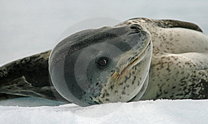 Leopard Seal 3 Royalty Free Stock Photo - Image: 18664555