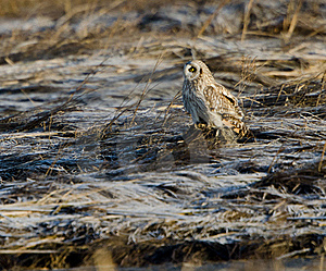 Short Eared Owl (Asio Flammeus) Royalty Free Stock Image - Image: 18665776