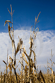 Corn Stalks Royalty Free Stock Photos - Image: 18666068