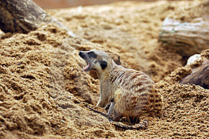 Suricate Or Meerkat (Suricata Suricatta) Royalty Free Stock Photo - Image: 18675385