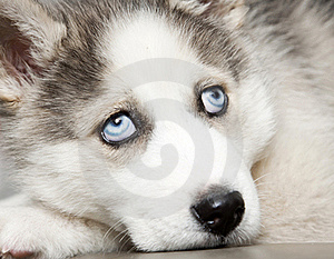 Blue Eyes Of Cute Siberian Husky Puppy Royalty Free Stock Image - Image: 18675586