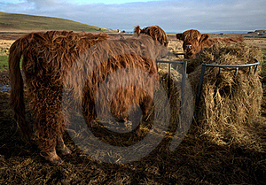 Highland Cows Royalty Free Stock Photos - Image: 18684838