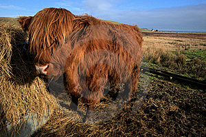 Highland Cow Stock Photo - Image: 18686440