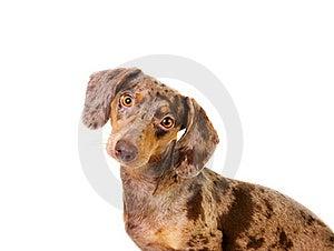 Spotted Badger-dog Stock Image - Image: 18693791