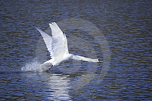 Swan Taking Off Stock Photo - Image: 18696070