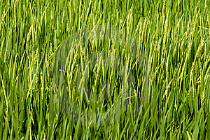 Paddy Field Royalty Free Stock Images - Image: 18698289