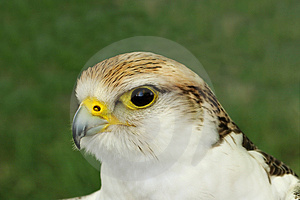 Falcon Bird Of Prey Stock Photography - Image: 1875252