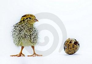 Nestling Quail With Eggshell Stock Photo - Image: 18717550