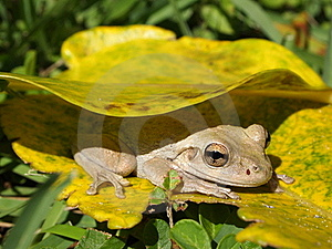 Shy Frog Stock Image - Image: 18726571
