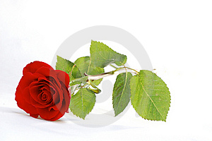 Red Rose Stock Image - Image: 18727501