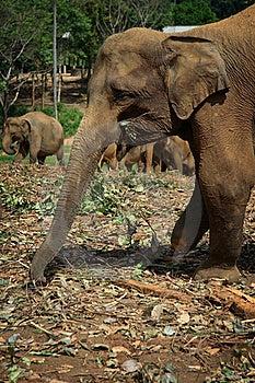 Sri Lanka: Wounded Pinnawela Elephant Stock Images - Image: 18727664