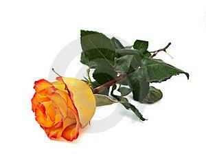 Yellow Rose Stock Photos - Image: 18735033