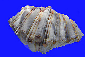 Clam Shell Stock Image - Image: 18739371