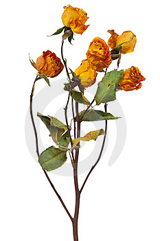 Yellow Dry Roses Royalty Free Stock Photography - Image: 18739437