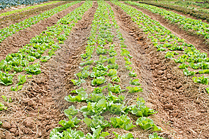 Lettuce Farm Stock Image - Image: 18745651