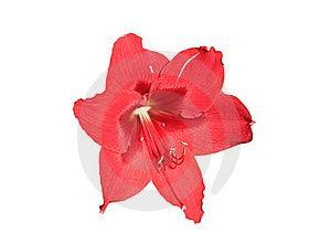 Amaryllis Flower Royalty Free Stock Photography - Image: 18749267