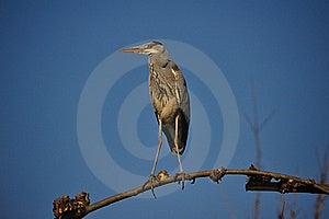 Grey Heron (Ardea Cinerea) Stock Image - Image: 18751621