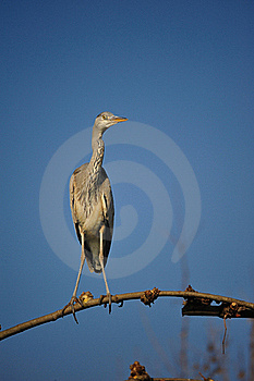 Grey Heron (Ardea Cinerea) Royalty Free Stock Image - Image: 18751686