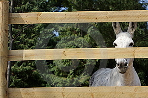 Portrait Of A Donkey Behind The Fence Stock Photo - Image: 18752910