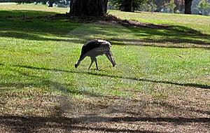 Wild Turkey Stock Image - Image: 18753621