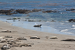 Elephant Seals Sleeping And Swimming Royalty Free Stock Image - Image: 18753866