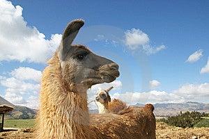 Llama Stock Photography - Image: 18755002
