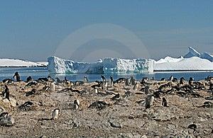 Gentoo Penguin Colony 3 Stock Photo - Image: 18759830