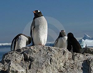 Gentoo Penguins 2 Royalty Free Stock Photos - Image: 18760038