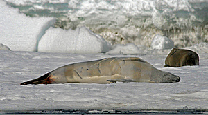 Crabeater Seal 12 Royalty Free Stock Photo - Image: 18762425
