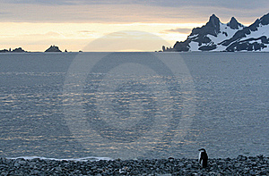 Penguin In Half Moon Bay Royalty Free Stock Images - Image: 18764379