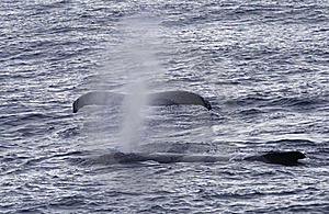 Humpback Whales Royalty Free Stock Photos - Image: 18765148