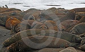 Elephant Seals 2 Stock Images - Image: 18765284